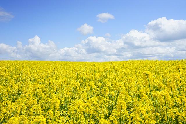 Miód rzepakowy a właściwości alergenne